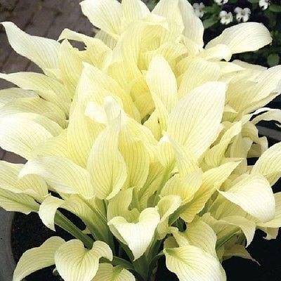 Amazoncom White Feather Hosta Plant Shipping Now Garden Outdoor