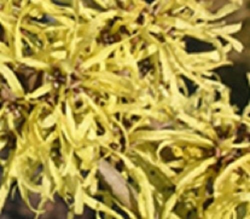 (American Witch hazel tree large flowering shrub Yellow flowers LIVE PLANT)