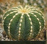 Notocactus magnificus or Parodia magnifica Cactus Cacti Real Live Plant