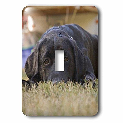3dRose lsp_84179_1 Labrador Retriever Puppy Dog Na02 Rbr0015 Rick A Brown Single Toggle Switch ()
