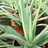 Aloe Vera Planta - Maceta 13cm. - Planta viva - (Envíos sólo a Península)