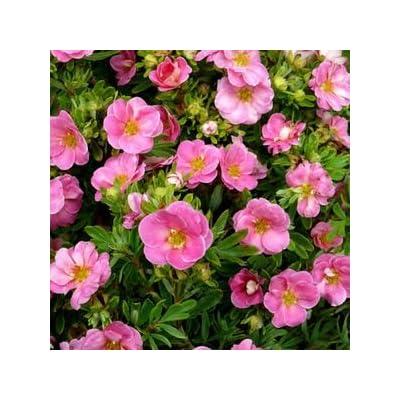 Potentilla-Happy-Face-Pink-Paradise - QT Pot (Shrub) : Garden & Outdoor
