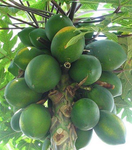 Jmbamboo-hawaiian Papaya Live Plant Great Tropical Trees Large 6'' Pot