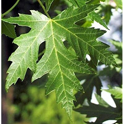 AchmadAnam - Live Plant - 10 - Silver Maple Ornamental Shade Tree 3-4 ft : Garden & Outdoor