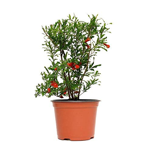 Broadleaf Cluster - 1 Gallon Pot Confetti Lantana Multicolor Plant Live Plant with Size 6