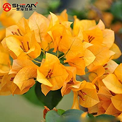 New Arrival! Blooming Plants Yellow Bougainvillea Spectabilis Willd Seeds Bonsai Plant Bougainvillea Flower Seeds - 100 PCS : Garden & Outdoor