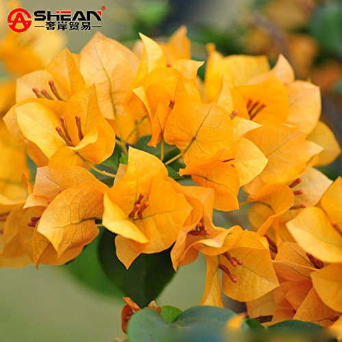 New Arrival! Blooming Plants Yellow Bougainvillea Spectabilis Willd Seeds Bonsai Plant Bougainvillea Flower Seeds - 100 PCS Bougainvillea Bonsai