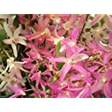 1 blühfähige Orchidee der Sorte: Dendrobium nobile Nikkou, 9cm Topf