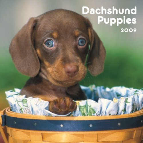 Dachshund Puppies 2009 7X7 Mini Wall Calendar