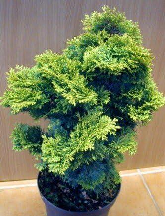 Muschelzypresse Chamaecyparis Obtusa Nana Gracilis 15 20 Cm Breit Im 1 5 Liter Topf Amazon De Garten