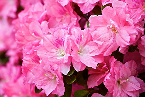 Rhododendron Hybrid - Home Comforts Hybrid Azalea - Rhododendron Flowers Poster Print 24x 36 Print 24x 36