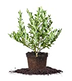 CLIMAX BLUEBERRY - Size: 1-2 ft, live plant, includes special blend fertilizer & planting guide