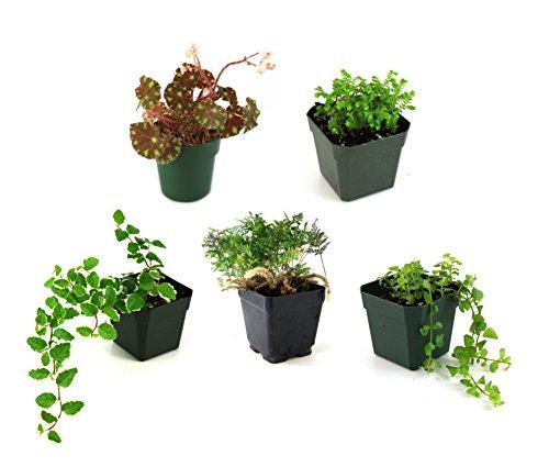 Classroom Terrarium Plant Bundle (5 plants)
