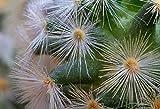 Home Comforts Peel-n-Stick Poster of Ball Cactus Spur Cactus Plant Mammillaria-carmenae Poster 24x16 Adhesive Sticker Poster Print