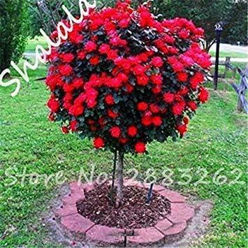 seedsown 10 PC/Bolso Semillas de Rose rosal Enano Bonsai Semillas de Flores Semillas de árboles Rosas Chinas 14 Colores Dan Amante de la Planta para jardín 2: Amazon.es: Jardín