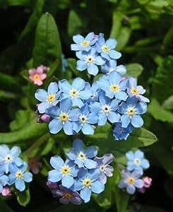Verano de 2016. El Hogar y jardín 200pcs calientes no me olvides China de las semillas semillas de flores del bosque rara Mar-lavanda plantas florecientes