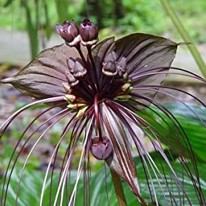 VENTA CALIENTE 100pcs / bag del Tigre Negro Orquídea Flores Semillas Semillas de flores de orquídeas raras para el jardín y hogar Plantas Bonsai