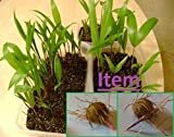 10 Dwarf Acai Seeds Palm Euterpe Oleracea Superberry Germinated Brazilian