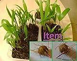 10 Dwarf Acai Seeds Palm Euterpe Oleracea Superberry Germinated Brazilian