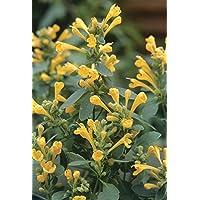 Arizona Sun Hummingbird Mint - Agastache - Anise Hyssop - Hardy - 4