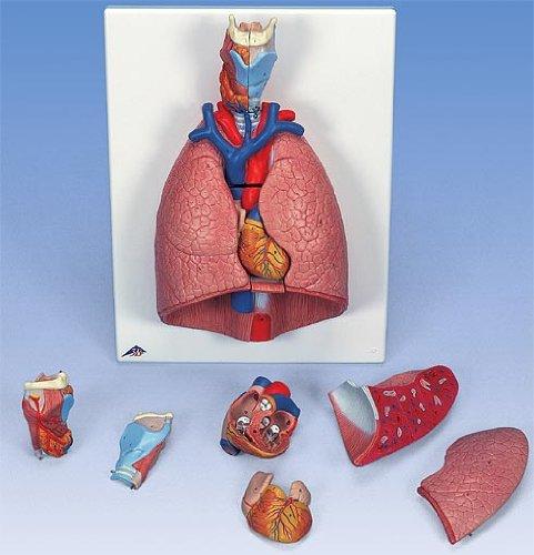 3B社 心肺模型 肺実物大7分解デラックスモデル (g15)   B003Z2OL3C