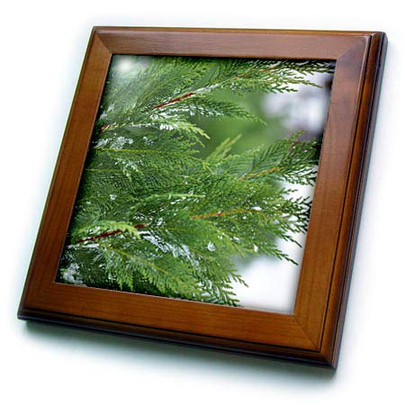 - 3dRose Stamp City - Nature - Close up Photograph of Leyland Cypress Foliage During a Snow Day. - 8x8 Framed Tile (ft_302865_1)