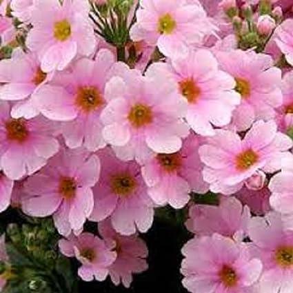 Amazon 50 Pink Fairy Primrose Flower Seeds Primula