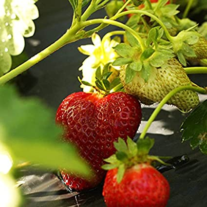 10 Chandler Strawberry Plants