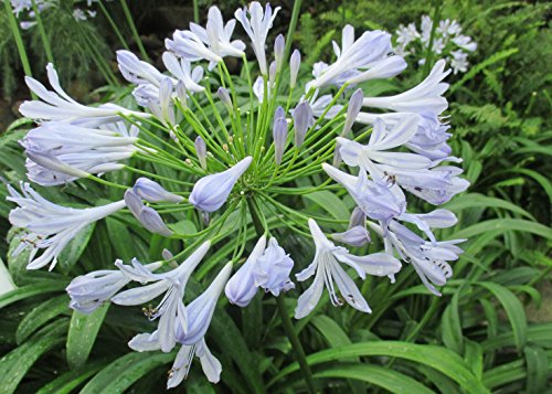 Lily of the Nile new blooming at the garden during Summer.: Agapanthus