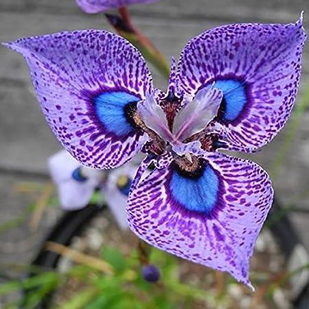 Amazon Com Hoo Products 200pcs Phalaenopsis Orchid Flowers Seed