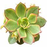 Aeonium Kiwi Succulent Plants Rare Succulents (4 inch)