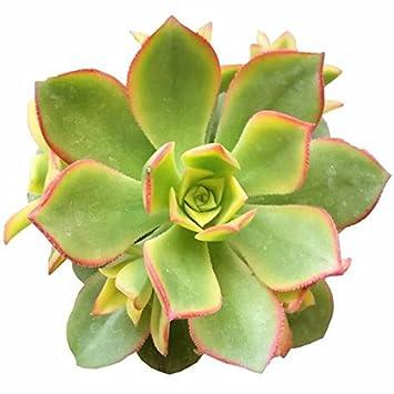 amazon com aeonium kiwi succulent plants rare succulents 4 inch