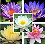7 Seeds Aquatic Water Lily (Mixed Colors Lotus Plant)