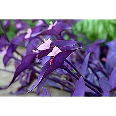"3 Tradescantia Pallida Purple Heart Plant Out/indoor ""Purple Wandering Jew"" Perenniel: Grocery & Gourmet Food"