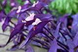 "3 Tradescantia Pallida Purple Heart Plant Out/indoor ""Purple Wandering Jew"" Perenniel"