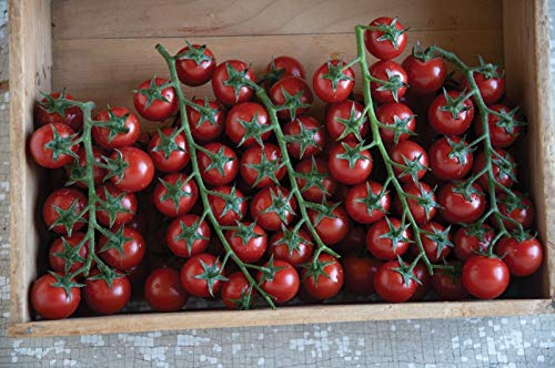 Cherry 1 Ounce - Sungold Select Tomato Seeds - heavy yields of ¾ to 1 oz orange cherry tomatoes!!(10 - Seeds)