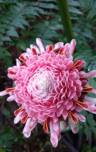 Rare Etlingera elatior Pink Torch Ginger Large Plant Rhizome tropical flower