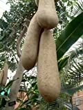 5 Seeds of Kigelia Africana - Sausage Tree - Rare Tropical Plant Tree Seeds