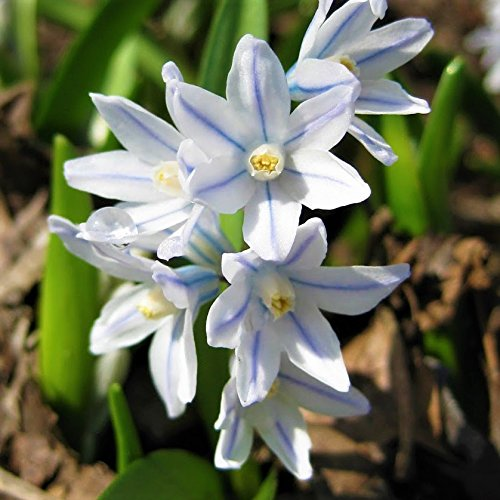 Puschkinia Libanotica 12 x Russian Snowdrops Bolly Bulbs/®
