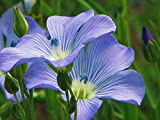 Blue Flax Seed, 100+ Seeds, Organic, Beautiful Striking Blue Flax Flowers