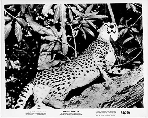 White Hunter original 1964 8x10 photo leopard in tree