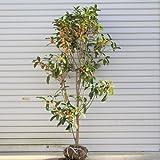 送料無料 庭木:キンモクセイ* H:約100-120cm