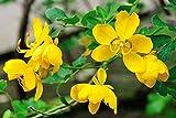 10 Seeds Senna floribunda Golden Showy Cassia Tree