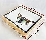 Real Moth Mounted Tasena Stendida Beetles Bug