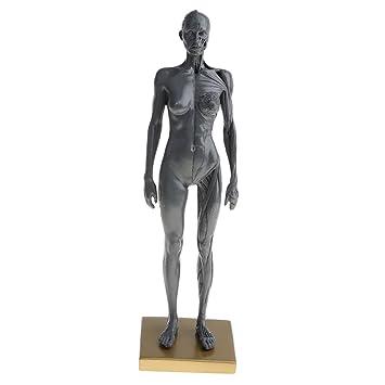 Baoblaze 30cm Männlich/ Weibliche Anatomie Modell, Halbe Haut, Halb ...