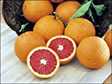 "Dwarf Red Navel Orange Tree - 8"" Pot - NO SHIPPING TO TX, FL, AZ, CA, LA, HI"