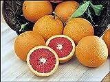 "Dwarf Red Navel Orange Tree - 8"" Pot - NO SHIPPING TO TX, FL, AZ, CA, LA, HI"
