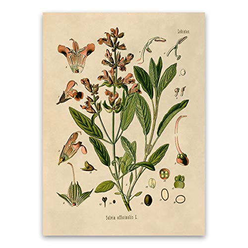 (Sage Plant Print, Salvia Officinalis, Botanical Illustration Poster)
