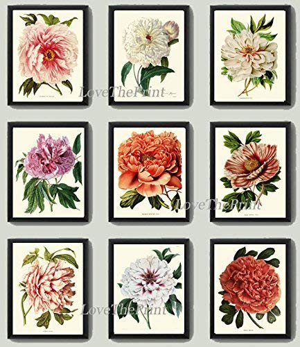 (Botanical Set of 9 Prints Antique Beautiful Large White Pink Coral Cream Peony Plants Flowers Illustration Ivory Background Home Room Decor Wall Art Unframed)