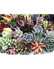 10 Assorted Live Succulent Cuttings, No 2 Succulents Alike, Great for Terrariums, Mini Gardens, and as Starter Plants by The Succulent Cult
